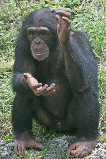 Chimp Clapping
