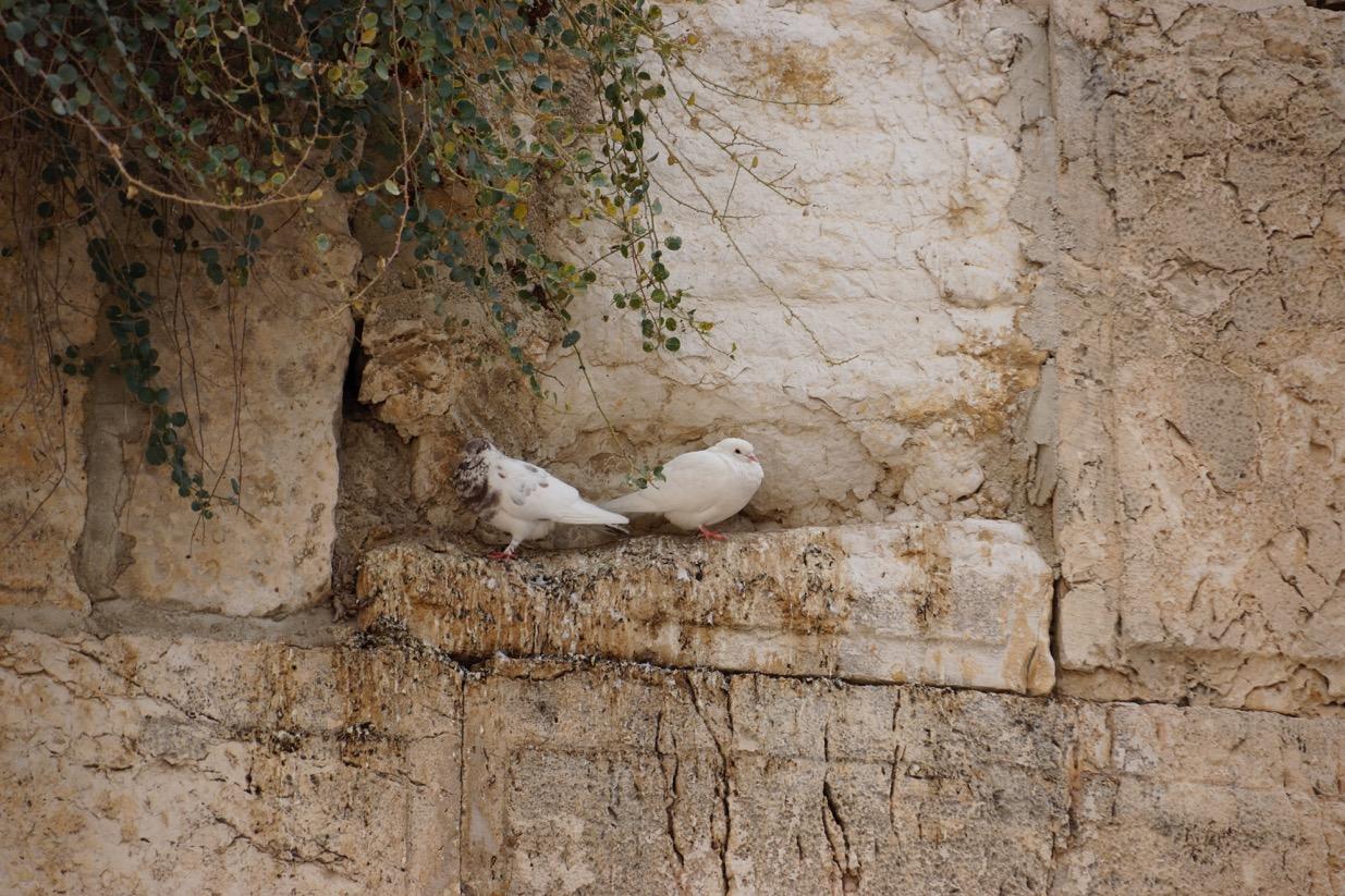 Doves on the Western Wall, Jerusalem