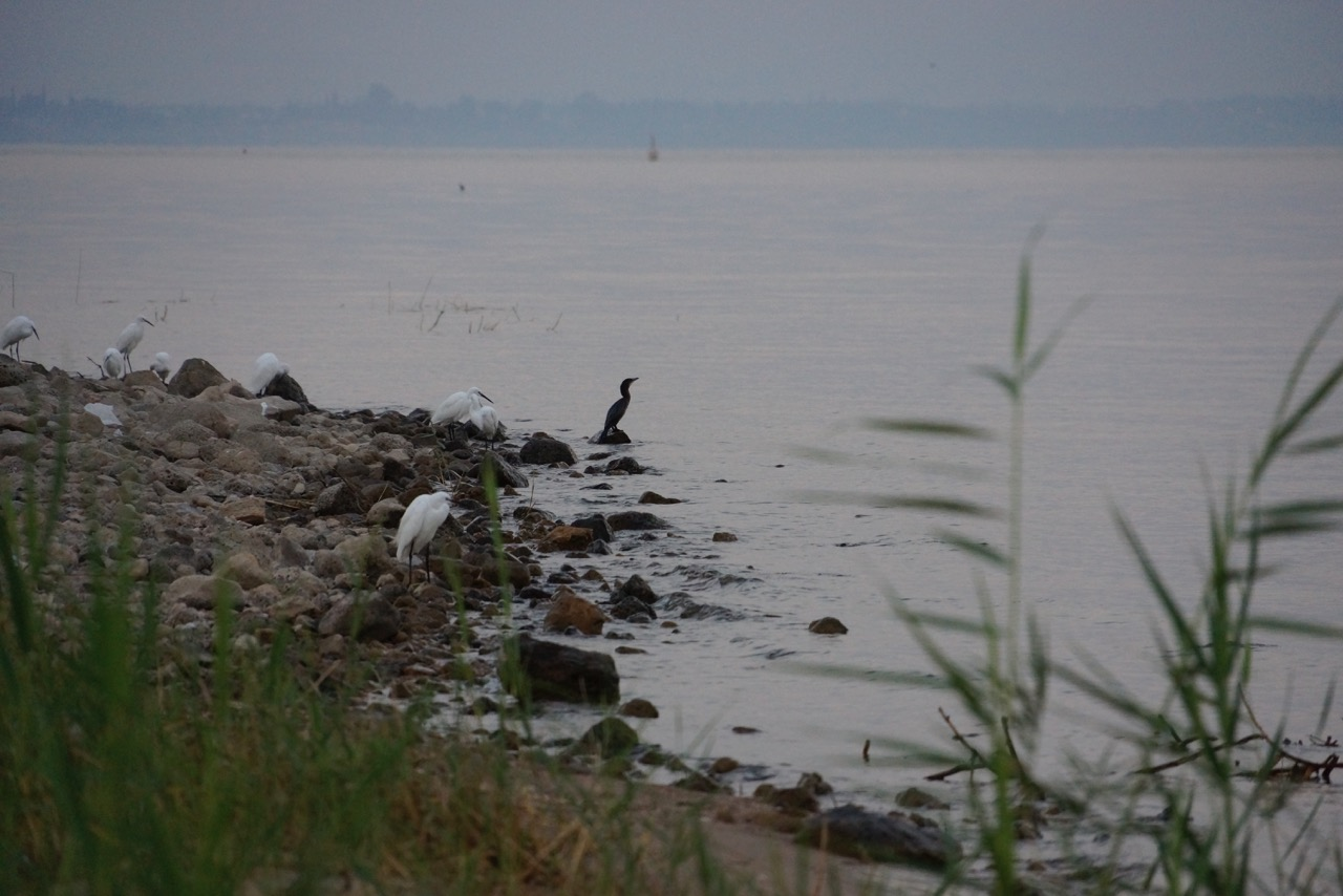 Cormorant and Herons on the Sea of Galilee